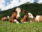 коровы на лужайке