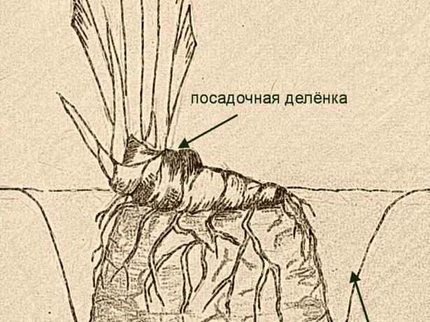 Схема посадки ириса