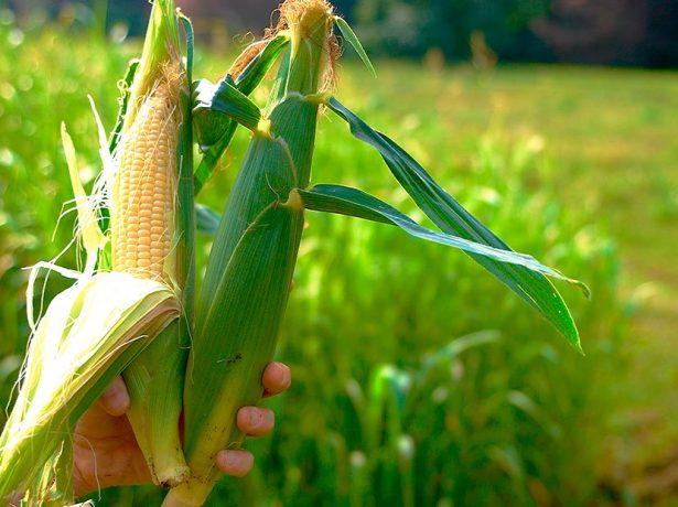 Початки кукурузы, подходящие для варки