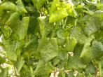 Столбур на листьях