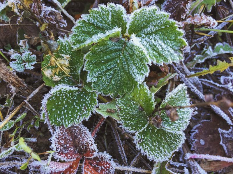 Укрытие клубники на зиму: делаем вовремя и правильно
