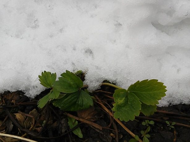 Клубничный кустик под снегом