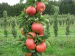 Колонновидная яблоня в Подмосковье: маленькая, да удаленькая