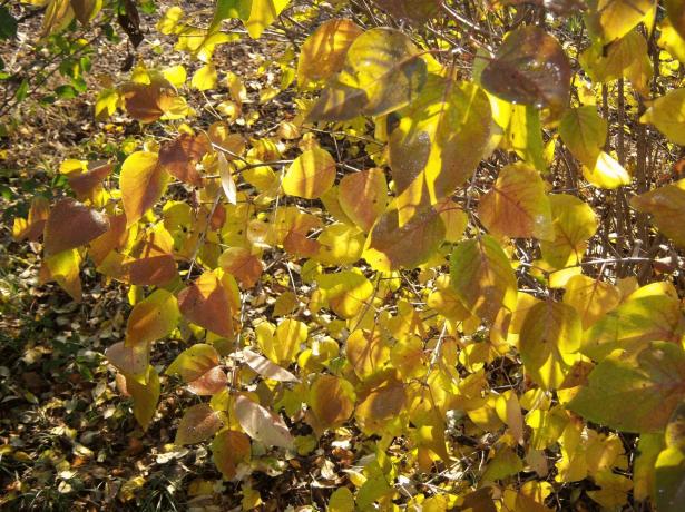 Сирень осенью