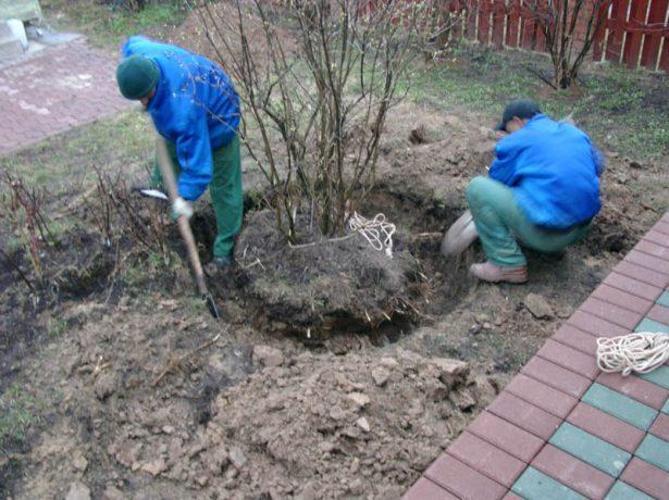 Выкапывание куста
