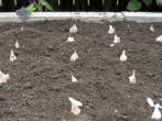 Посадка чеснока после лука: возможен ли такой предшественник