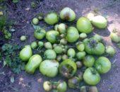 Обработка почвы после фитофторы помидор