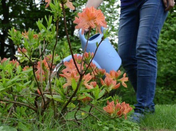 полив рододендрона