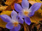 Осенняя посадка крокусов: определяемся со сроками