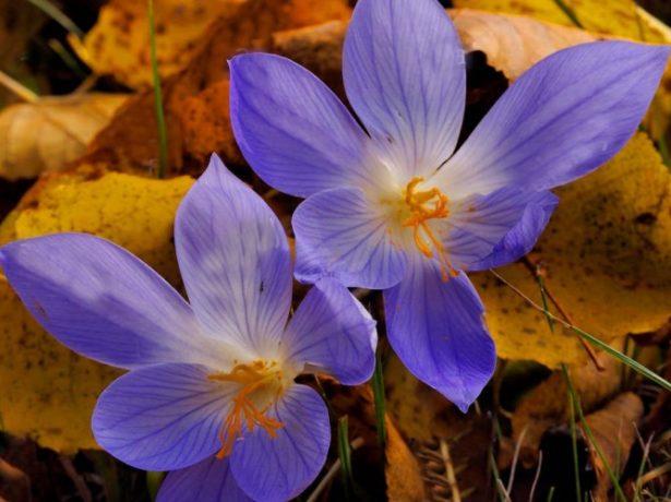 Осенние крокусы