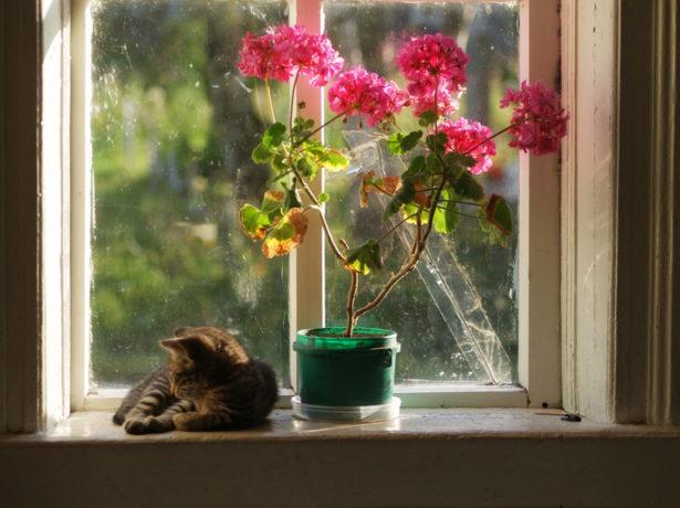 Кошка и пеларгония
