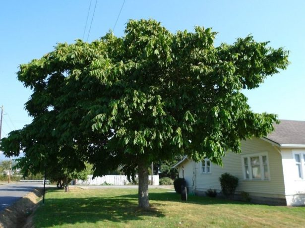 Ореховое дерево у дома
