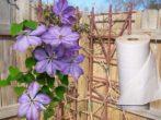 Укрываем клематис на зиму, чтобы сберечь цветок до весны