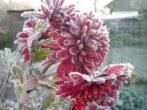 Укрываем хризантемы на зиму