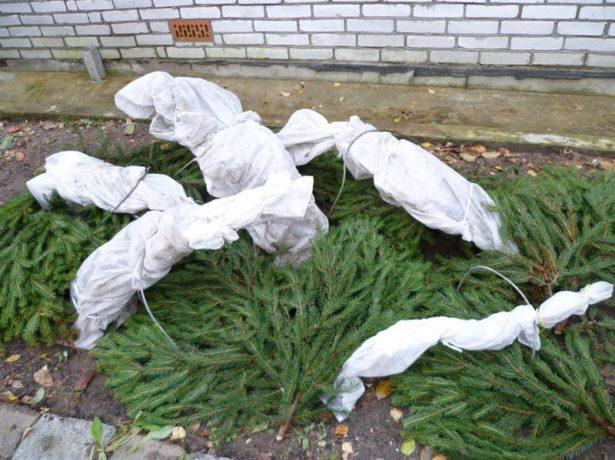 Укрытие кустов на зиму