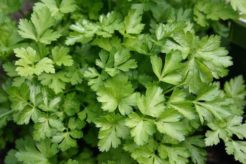 Сеем петрушку под зиму и получаем ранний урожай зелени
