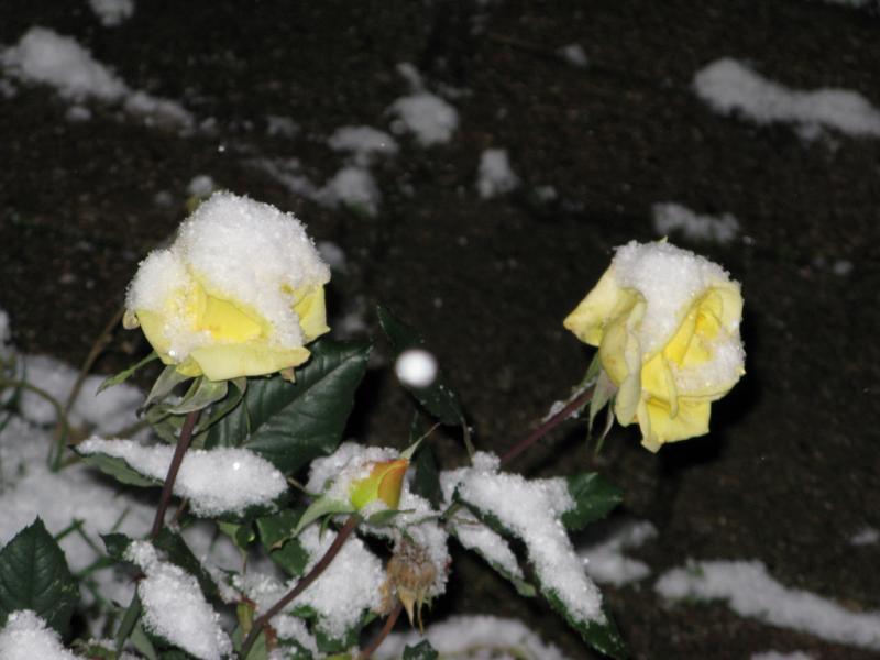 Роза осенью не сбросила листья: что делать?