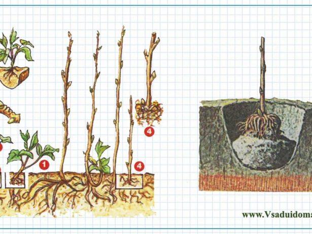 Размножение малины черенками и порослью