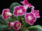 Уход за глоксиниями во время и после цветения