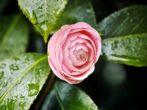 Камелия: секреты посадки, ухода и размножения