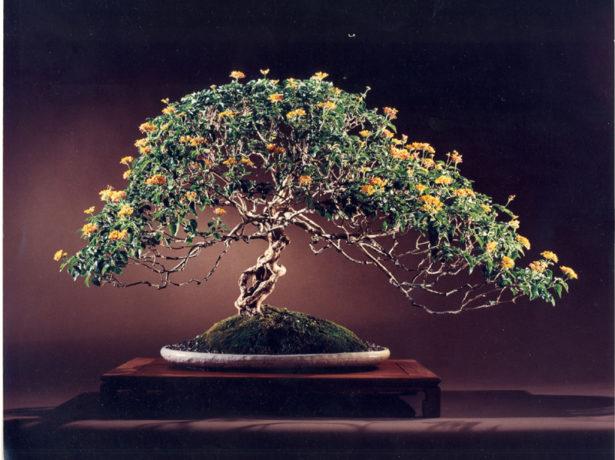Штамбовое деревце