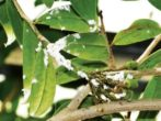 Мучнистый червец на листьях