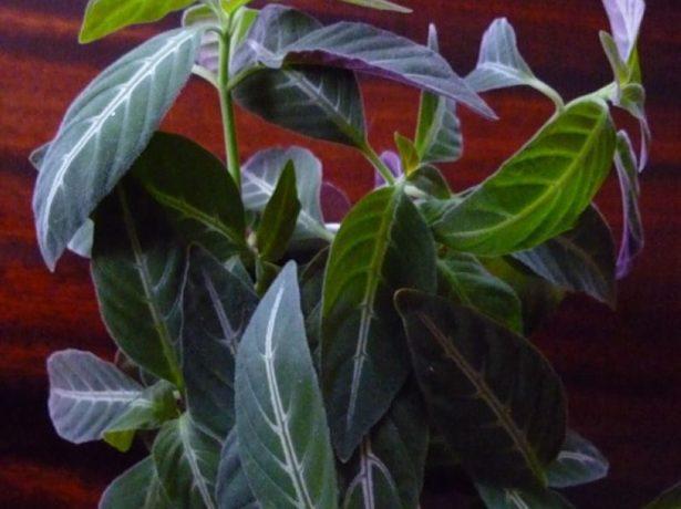 Листья руэллии