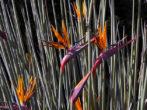 Стрелиция тростниковая (juncea)