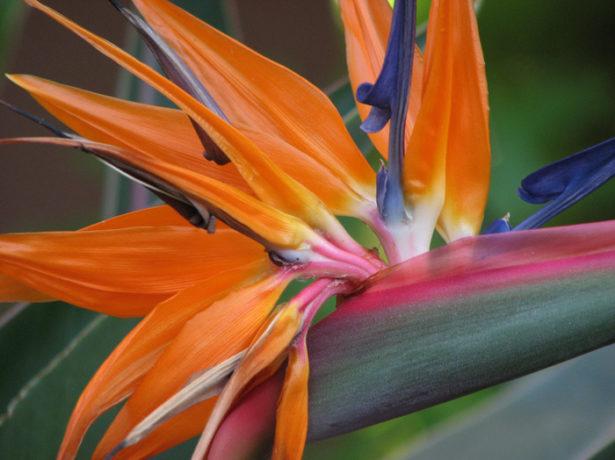 Цветок стрелиции крупно