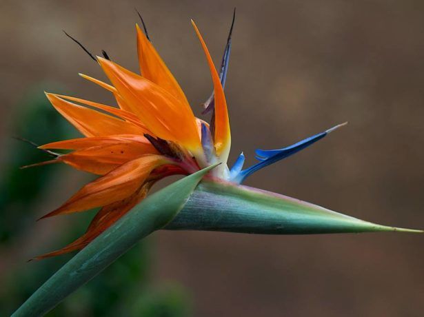 Стрелиция цветок