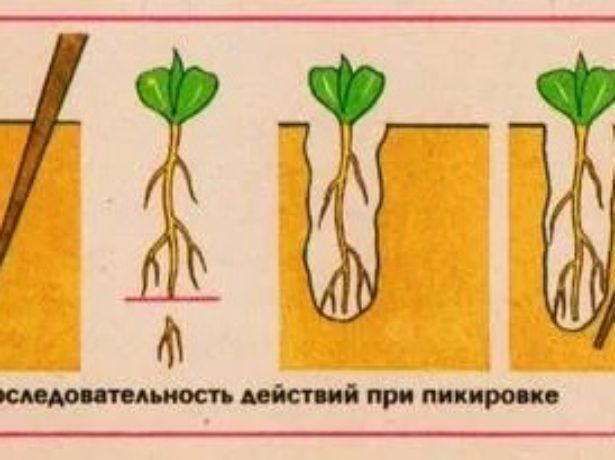 Схема пикировки растения