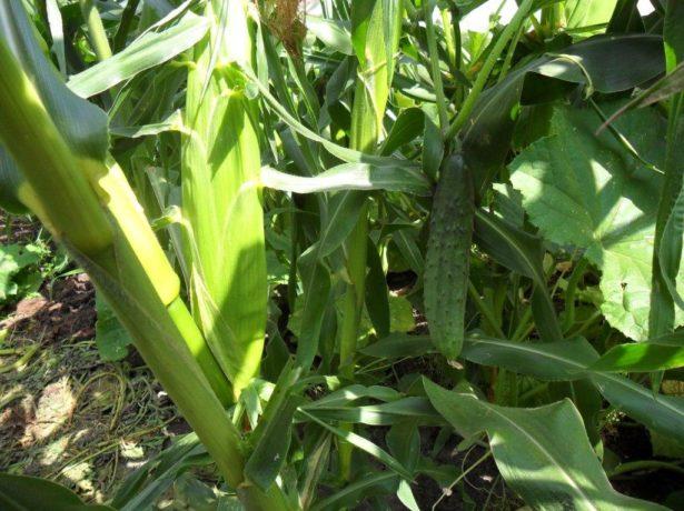 Опора из кукурузы