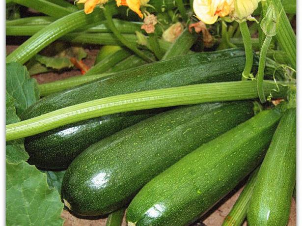 Плоды кабачка Чёрный красавец