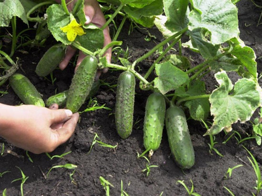 Огурцы посеем рано — урожаю будем рады
