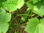 Огурцы: выращивание в открытом грунте