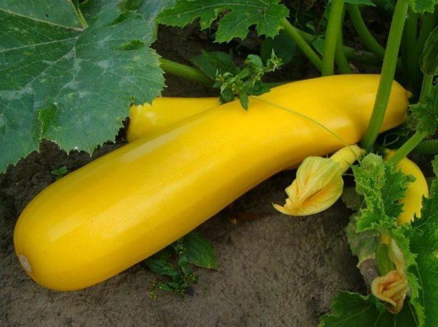 Желтый плод цукини