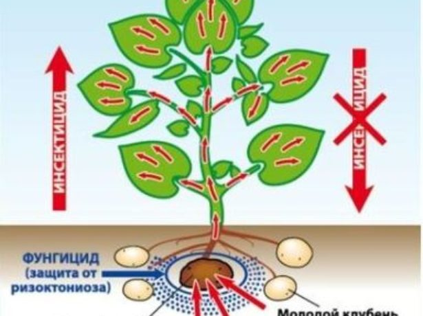 Обработка клубней инсектицидом