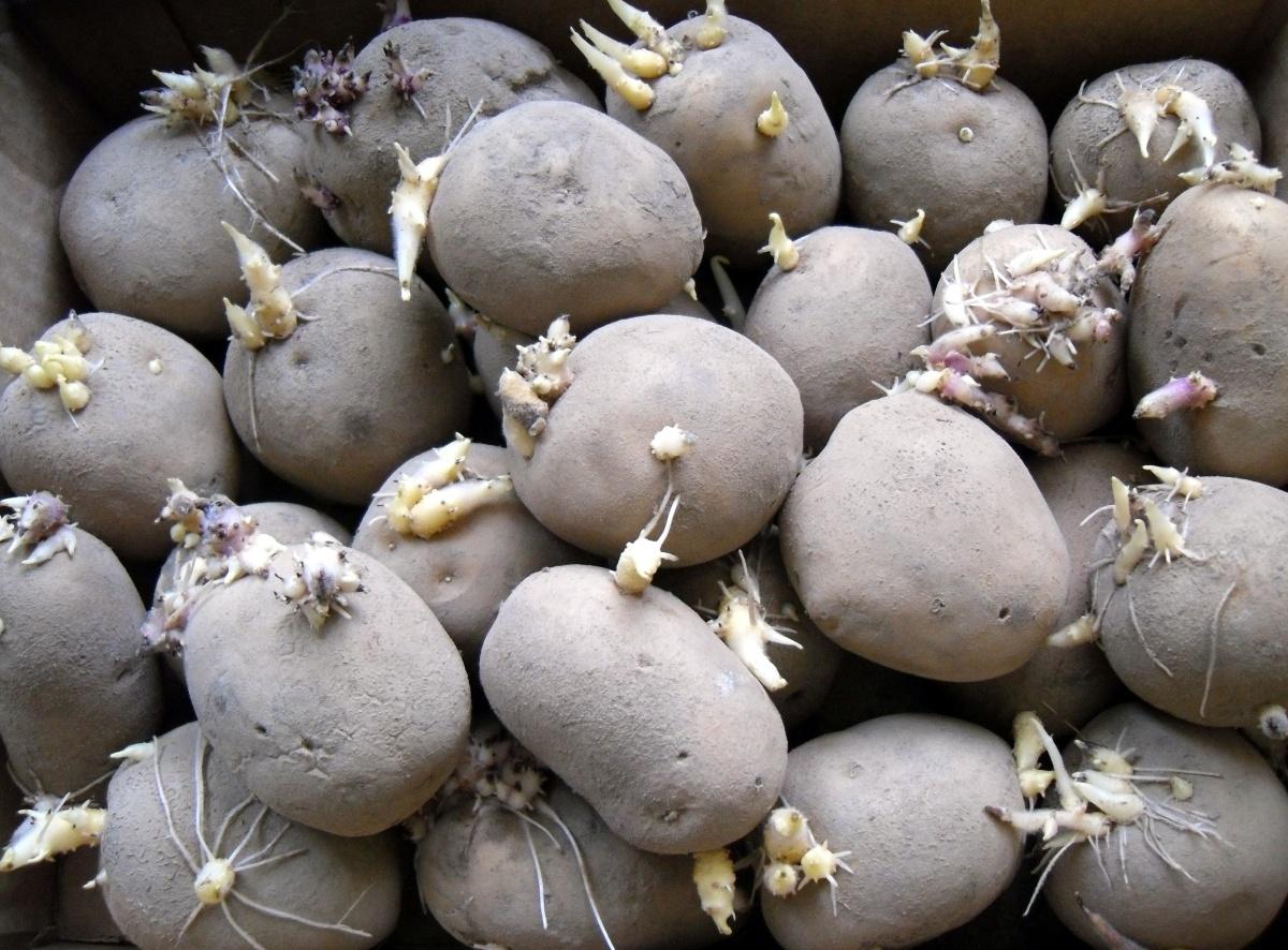 Картофельные хлопоты: подготовка к посадке