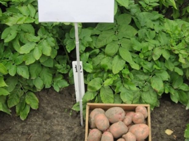 Урожайный сорт Красавчик