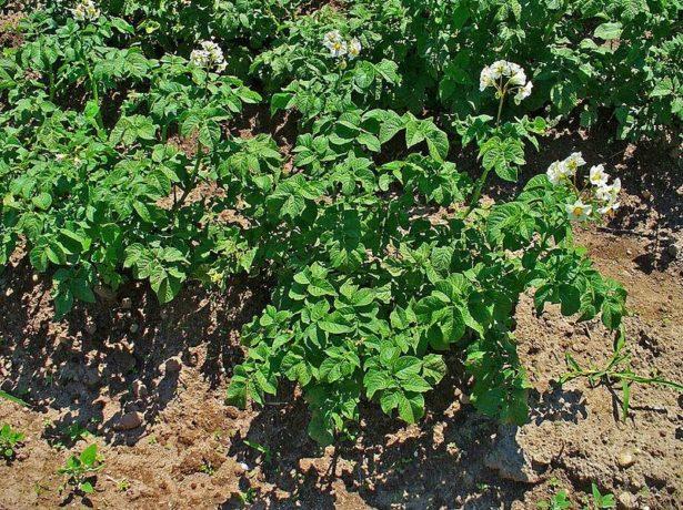 Цветение картофеля Сынок