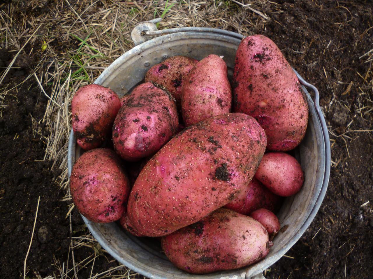 сорт картошки с картинками