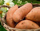 Сорт картофеля народной селекции Лапоть
