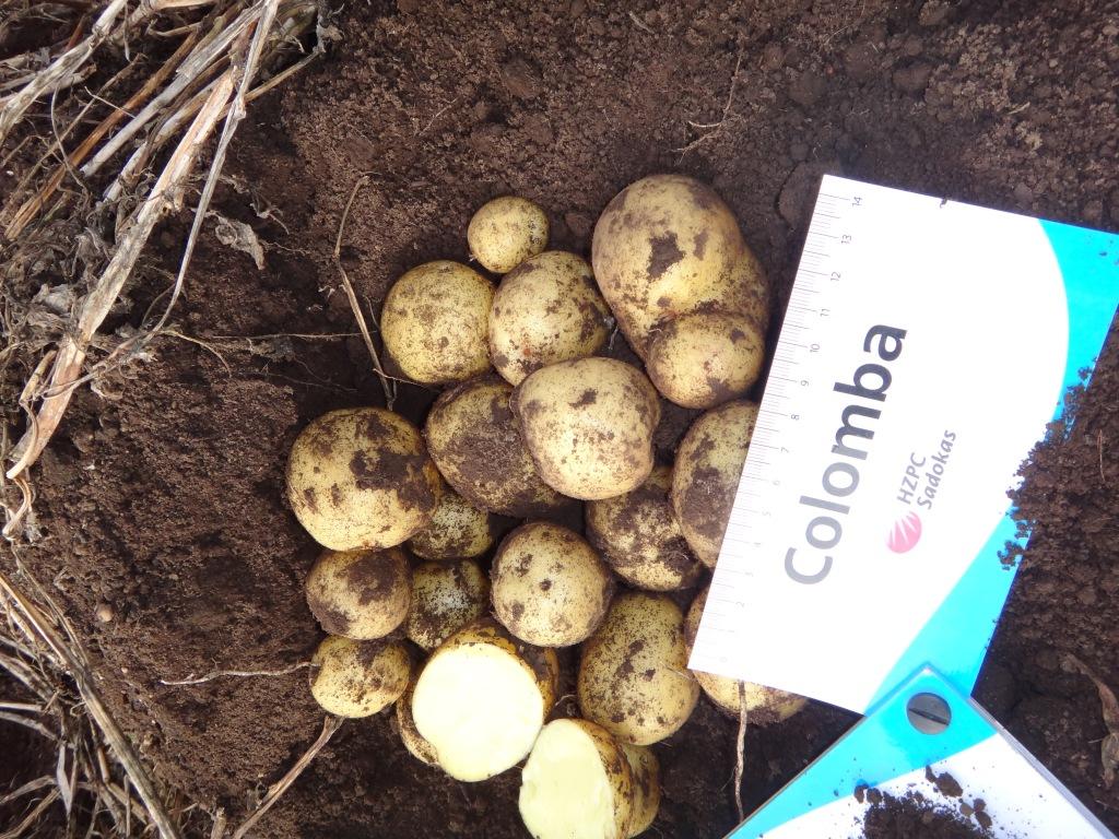 Картофель Коломба – наш сорт из Голландии