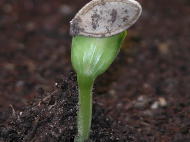 Прорастание семян цукини