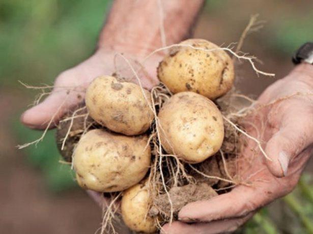 выкопанные клубни картофеля сорта Голубизна