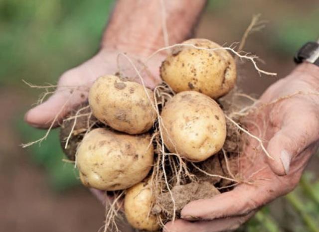 Как быстро прорастить картофель для посадки: видео инструкция