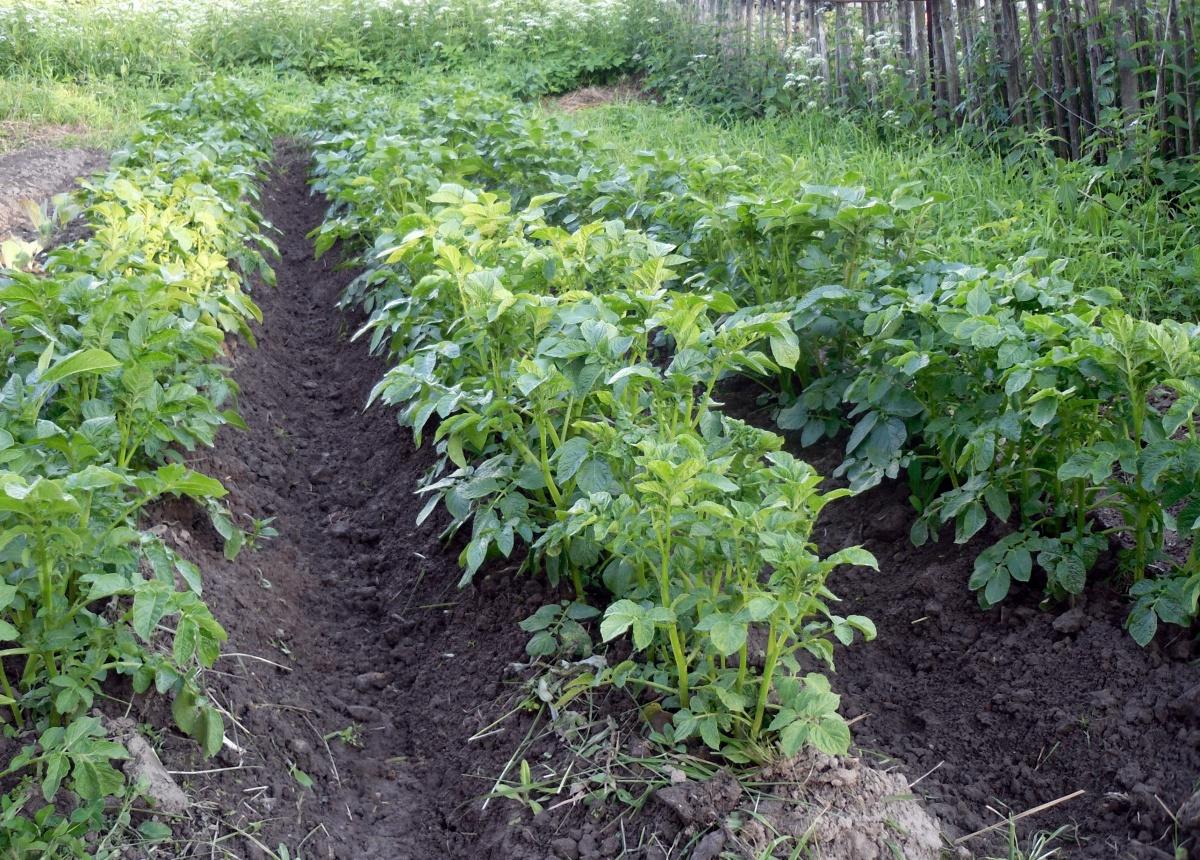Голубизна — один из лучших сортов картофеля