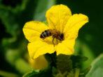 Пчела