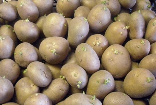 Сорт картофеля скарб описание фото