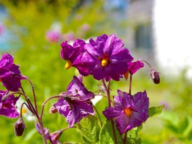 Цветки картофеля Колетте